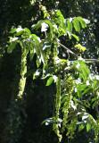 Walnut Tree Seed Pods