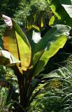 Bannana Tree Foliage - Tropical Outdoor Garden