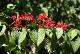 Viburnum Blossom Buds or Fruit? - Rock Garden