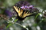Swallow Tail Butterfly on a Buddleja Bush