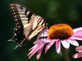 Swallow Tail Butterfly and Echinacea