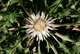 Thistle Blossom - Herb Garden