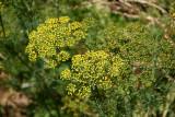 Dill Blossoms - Herb Garden