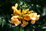 Trumpet Vine Blossoms