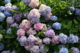 Hydrangea - Home Garden Center