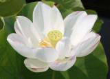 Lotus - Lily Pond Area
