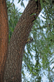 Yellow Bellied Sapsucker on a Willow Tree