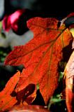 Oak Leaf Hydrangea Foliage