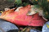 Oak Leaf Hydrangea Leaf in the Rock Garden