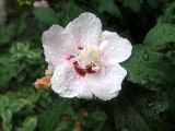 Hibiscus Blossom in the Rain