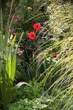Garden View - Red Dahlias