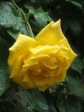 Yellow Rose in the Rain
