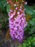 Butterfly Bush Blossom