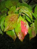Dogwood Foliage in the Rain