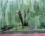 Willow Tree in the Rain
