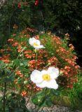 On a Garden Path - Anemone, Diascia & Rose Hips