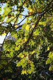 Golden Rain Tree Foliage