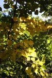Linden Tree Foliage