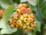 Hawthorne Tree Berries