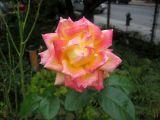 Love & Peace Rose