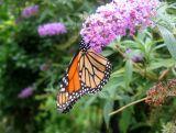 Monarch Butterfly on a Butterfly Bush Blossom