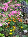 Petunias & Marigolds