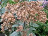 Boneset or Eupatorium