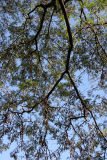 Honey Locust Foliage