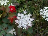 Queen Ann Lace and a Red Rose Bush
