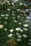 Allium or Garlic Chive Blossoms