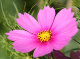 Magenta Pink Cosmos Aster