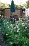 Allium or Garlic Chive Blossoms & Garden Shed