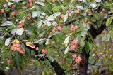Crab Apples - Presbyterian Church Garden