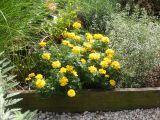 Marigolds & Calamintha Garden