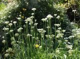 Allium Onion Chive Flowers