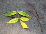 Elm Foliage on a Sidewalk after Rain