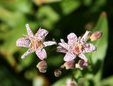 Tricyrtis or Toad Lily