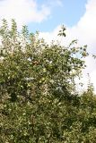 Apple Tree Top with Fruit