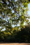 Bocce Ball Court & Golden Rain Tree Foliage