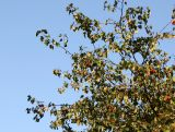 Hawthorne Tree Foliage & Berries
