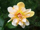 Yellow & White Dahlia