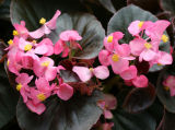 Terrace Garden Begonias