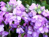 Matthiola or Stock