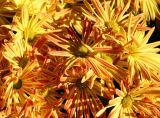 Sun Burst Chrysanthemums