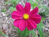 Coreopsis Blossom