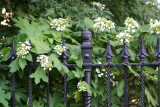 Hydrangea - Golden Swan Garden