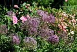 Allium & Roses