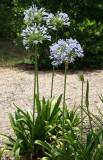 Allium - Grand Park Residential Community