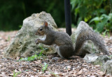 Squirrel - Grand Park Residential Community