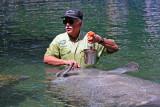 Manatee Feeding Time - Wildlife State Park